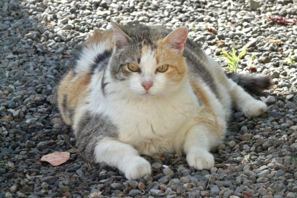 השמנת יתר בקרב חתולים